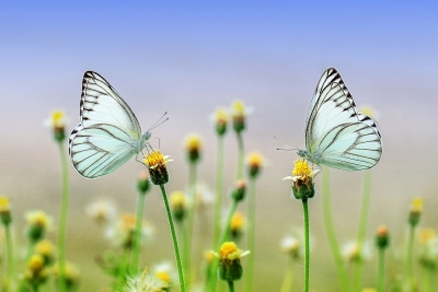 butterflys-on-dandelion-flowers